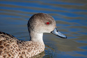 Adult Grey teal (Anas gracilis) closeup showing the bright red eye, suggestive that this bird is a male. Te Awanga Lagoon, Hawkes Bay, New Zealand, September. - Brent  Stephenson