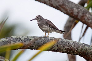 Adult Wandering tattler (Tringa incana) moulting out of breeding plumage, standing on the branch of a Pandanus bush. Henderson Island, Pitcairn Islands, South Pacific. September.  -  Brent  Stephenson