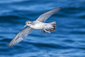 Fairy prion (Pachyptila turtur) in flight low over the sea, showing underwing pattern. Hauraki Gulf, Auckland, New Zealand, October.  -  Brent  Stephenson