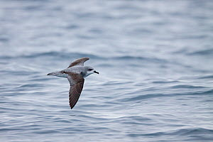 Cook's petrel (Pterodroma cookii) in flight, low over the sea, showing the upperwing pattern. Hauraki Gulf, Auckland, New Zealand, October. Vulnerable species. - Brent  Stephenson