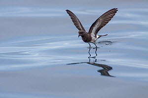 New Zealand storm-petrel (Oceanites maorianus) bouncing off the surface of the sea as it feeds. Hauraki Gulf, Auckland, New Zealand, October. Critically endangered. - Brent  Stephenson