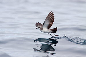 White-faced storm-petrel (Pelagodroma marina) skipping across the surface of the water as it feeds. Hauraki Gulf, Auckland, New Zealand, October. - Brent  Stephenson