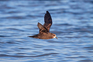 Adult Grey-faced petrel (Pterodroma gouldi) flying at sea, showing the pale face and underwing pattern. Hauraki Gulf, Auckland, New Zealand, October.  -  Brent  Stephenson
