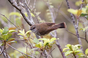 Adult female Grey warbler / Grey gerygone (Gerygone igata) perched in a small shrub searching for food. Tawharanui, Auckland, New Zealand, October. - Brent  Stephenson