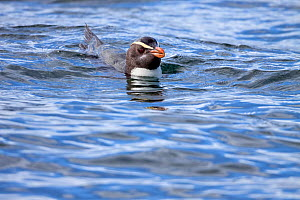 Fiordland crested penguin (Eudyptes pachyrhynchus) swimming at sea. Off Stewart Island, New Zealand, December. Vulnerable species. - Brent  Stephenson