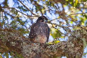 Recently fledged juvenile New Zealand falcon (Falco novaeseelandiae ferox) perched on a branch within the forest canopy. Boundary Stream Mainland Island, Hawkes Bay, New Zealand, January. Near threate... - Brent  Stephenson