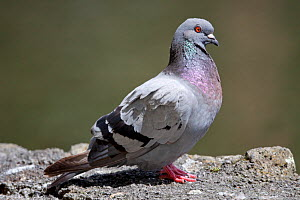 Feral pigeon (Columba livia) perched on a rock in the sun. Western Springs Park, Auckland, New Zealand, February. - Brent  Stephenson