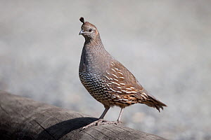 Female California quail (Callipepla californica) perched on a log. Wenderholm Regional Park, Auckland, New Zealand, February. Introduced species in New Zealand. - Brent  Stephenson