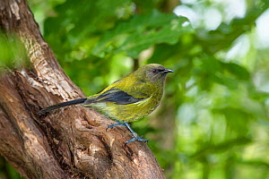 Immature male Bellbird (Anthornis melanura) perched on a branch in the understorey. Shows some retained juvenile flight feathers and less purple on the face than in adults. Tiritiri Matangi Island, Au...  -  Brent  Stephenson