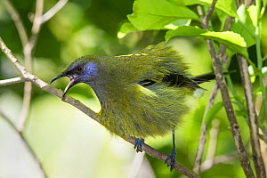 Adult male Bellbird (Anthornis melanura) perched on a branch and puffed up calling in an aggressive display. Tiritiri Matangi Island, Auckland, New Zealand, September. - Brent  Stephenson