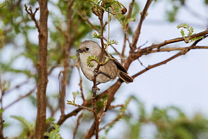 Juvenile Whitehead (Mohoua albicilla) in worn plumage, foraging in the outer branches of a shrub. Tiritiri Matangi Island, Auckland, New Zealand, September.  -  Brent  Stephenson