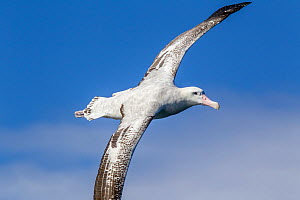 Adult Wandering albatross, probably a New Zealand albatross (Diomedea antipodensis) in flight over the sea, showing the upperwing. Kaikoura, Canterbury, New Zealand,. This is the probably the Antipode...  -  Brent  Stephenson