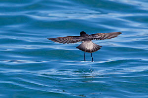 Grey-backed storm-petrel (Garrodia nereis) in flight bouncing off the water with its long legs. View from behind. Kaikoura, Canterbury, New Zealand, October.  -  Brent  Stephenson