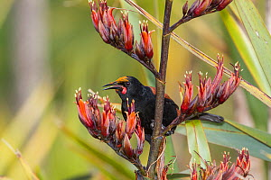 Adult North Island saddleback (Philesturnus rufusater) feeding on nectar from a New Zealand flax (Phormium) flowers. Note the yellow pollen on the forehead. Tiritiri Matangi Island, Auckland, New Zeal...  -  Brent  Stephenson