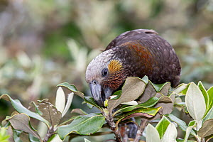Adult New Zealand kaka (Nestor meridionalis) feeding on fresh buds of tree daisy (Olearia). This is the Southern subspecies, meridionalis. Ulva Island, Stewart Island, New Zealand, November. Endangere... - Brent  Stephenson
