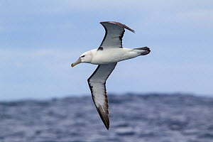 Immature white-capped albatross (Thalassarche cauta) (probably nearly two years old) in flight showing the underwing, darker bill pattern, and partial collar found in a bird of this age. Off Stewart I... - Brent  Stephenson