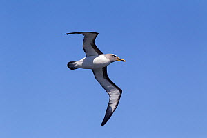 Adult Buller's albatross (Thalassarche bulleri bulleri) in flight against a blue sky showing the underwing and head and bill pattern. Off the Solander Islands, Southland, New Zealand, February. Near t...  -  Brent  Stephenson