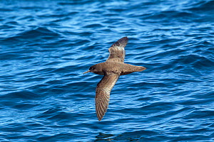 Fresh plumaged Sooty shearwater (Puffinus griseus) in flight low over the water showing the upperwing. Kaikoura, Canterbury, New Zealand, November.  -  Brent  Stephenson