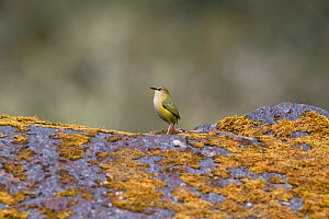 Adult male South Island / Rock wren (Xenicus gilviventris) perched on a mossy rock in the alpine zone. Homer Tunnel, Fiordland National Park, New Zealand, November. Vulnerable species.  -  Brent  Stephenson
