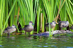 A spring of Grey teal (Anas gracilis) perching on a log on the edge of a pond. Included in the photo are from left to right, a juvenile, an adult, and two immatures. Te Awanga Lagoon, Hawkes Bay, New... - Brent  Stephenson