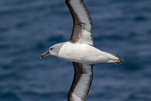 Adult Grey-headed albatross (Thalassarche chrysostoma) in flight showing the underwing and head and bill pattern. Off South Georgia, South Atlantic. January. Endangered species. - Brent  Stephenson