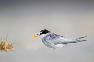Adult Fairy tern (Sternula nereis davisae) moulting out of breeding plumage, resting on a sandy beach. This is the incredibly endangered New Zealand subspecies which has less than 50 individuals remai... - Brent  Stephenson