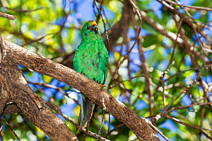 Adult Orange-fronted / Malherbe's parakeet (Cyanoramphus malherbi) with worn plumage, perched on a branch in the low canopy. Blumine Island, Marlborough Sounds, New Zealand, February. Critically endan... - Brent  Stephenson