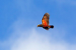Adult New Zealand kaka (Nestor meridionalis) in flight against a blue sky showing the red underwing. This is the Southern subspecies, meridionalis. Codfish Island, Stewart Island, New Zealand, Novembe... - Brent  Stephenson