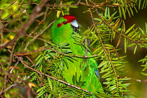 Adult Red-crowned parakeet (Cyanoramphus novaezelandiae) foraging on totara (Podocarpus) fruits in the sub-canopy. Ulva Island, Stewart Island, New Zealand, February. - Brent  Stephenson