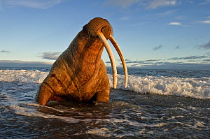 Walrus (Odobenus rosmarus) on coast of Wrangel Island, Far Eastern Russia, September.  -  Sergey  Gorshkov