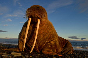 Close up of Walrus (Odobenus rosmarus) on coast of Wrangel Island, Far Eastern Russia, September.  -  Sergey  Gorshkov
