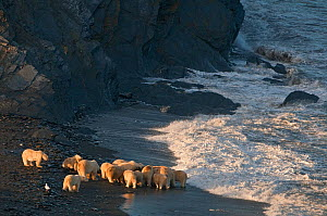 Polar bear (Ursus maritimus) group feeding on carcass on beach, Wrangel Island, Far Eastern Russia, September.  -  Sergey  Gorshkov