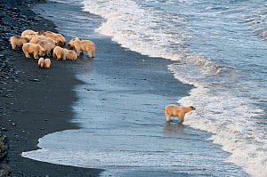 Polar bear (Ursus maritimus) feeding on carcass on beach, with one separate from the rest of the group looking out to sea, Wrangel Island, Far Eastern Russia, September.  -  Sergey  Gorshkov
