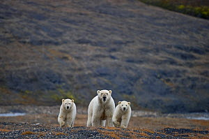 Polar bear (Ursus maritimus) female two cubs, Wrangel Island, Far Eastern Russia, September.  -  Sergey  Gorshkov
