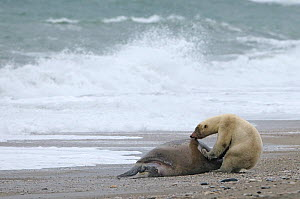 Polar bear (Ursus maritimus) feeding on Walrus carcass on beach, Wrangel Island, Far Eastern Russia, September.  -  Sergey  Gorshkov
