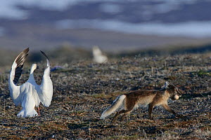 Arctic fox (Vulpes lagopus) in summer moult stealing Snow goose (Chen caerulescens caerulescens) egg, with Snow goose flapping wings can calling, Wrangel Island, Far Eastern Russia, June. - Sergey  Gorshkov