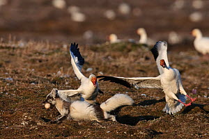 Arctic fox (Vulpes lagopus) in summer moult stealing Snow goose (Chen caerulescens caerulescens) egg, with Snow goose flapping wings cand calling, Wrangel Island, Far Eastern Russia, June.  -  Sergey  Gorshkov