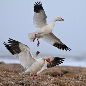 Snow geese (Chen caerulescens caerulescens) taking off, Wrangel Island, Far Eastern Russia, June. - Sergey  Gorshkov