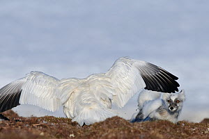 Snow goose (Chen caerulescens caerulescens) with wings out stretched, chasing way Arctic fox (Vulpes lagopus) Wrangel Island, Far Eastern Russia, June. - Sergey  Gorshkov