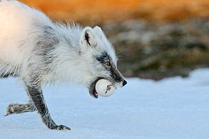 Arctic fox (Vulpes lagopus) with Snow goose egg in mouth, mid moult from winter to summer fur, Wrangel Island, Far Eastern Russia. - Sergey  Gorshkov