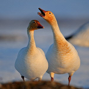 Snow geese (Chen caerulescens caerulescens) pair in courtship display, Wrangel Island, Far Eastern Russia, May.  -  Sergey  Gorshkov