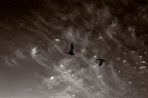 Black and white photograph of Snow geese (Chen caerulescens) Wrangel Island, Far Eastern Russia, May.  -  Sergey  Gorshkov
