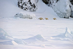 Polar bear (Ursus maritimus) mother with cubs walking through snow, Wrangel Island, Far Eastern Russia, March.  -  Sergey  Gorshkov