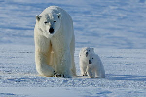 Polar bear (Ursus maritimus) mother with three very young cubs, Wrangel Island, Far Eastern Russia, March.  -  Sergey  Gorshkov