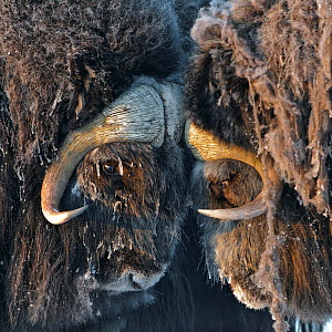 Musk ox (Ovibos moschatus) portrait, Wrangel Island, Far Eastern Russia, March. - Sergey  Gorshkov