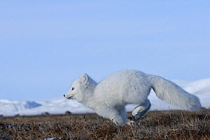 Arctic fox (Vulpes lagopus)  in winter coat running, Wrangel Island, Far Eastern Russia, October.  -  Sergey  Gorshkov