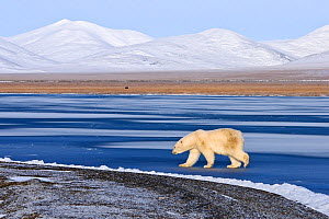 Polar bear (Ursus maritimus) walking along coast of Wrangel Island, Far Eastern Russia, October.  -  Sergey  Gorshkov