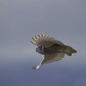 Snowy owl (Bubo scandiacus) in flight, Wrangel Island, Far Eastern Russia, October.  -  Sergey  Gorshkov