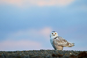 Snowy owl (Bubo scandiacus) on ground, Wrangel Island, Far Eastern Russia, September.  -  Sergey  Gorshkov