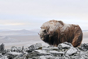 Musk ox (Ovibos moschatus) covered in snow, Wrangel Island, Far Eastern Russia, September.  -  Sergey  Gorshkov